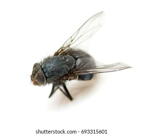 Fly dead on white background