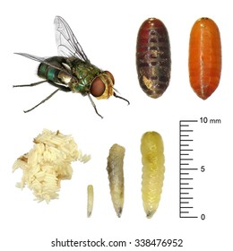 Fly development stages (eggs, larva, imago). Isolated on the white background