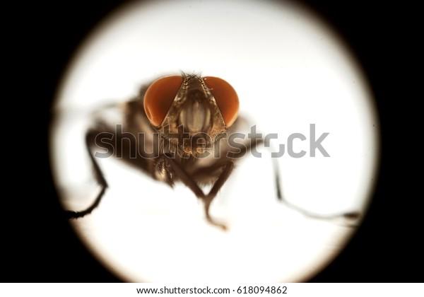 Fly eyeballs Macro