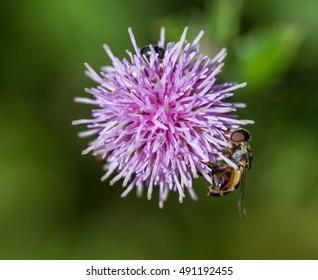 Fly feeding on a purple clover on a sunny day.