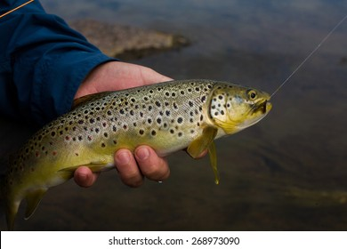 Fly fisherman holding a Brown Trout fish prior to release