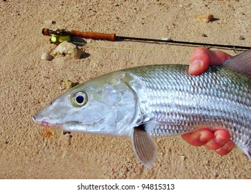 Fly fishing in saltwater flats of Mexico - Strong fighting fish, the bonefish with a fly in its mouth and fly rod pole in background