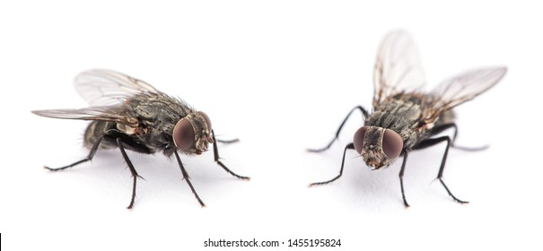 fly isolated on a white - Shutterstock ID 1455195824