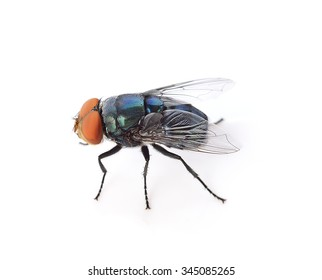 fly isolated on white background