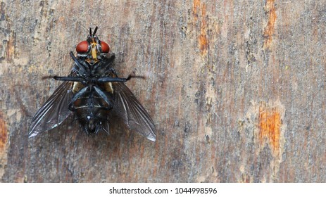 fly isolated on a wooden background- Dead insect. poisoned cockroach. belly fly up. Fly is dying.