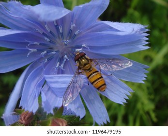 Fly mimicry on blue flower
