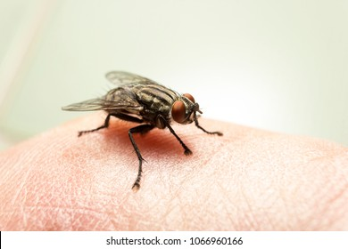 Fly on human skin