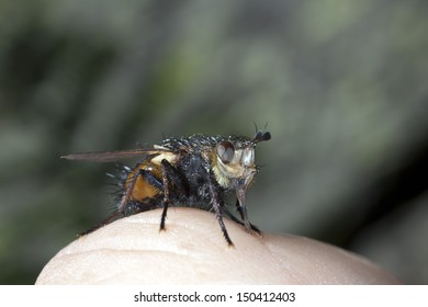Fly on the knuckle of a finger, macro.
