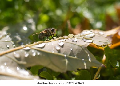 Fly on a leaf with water droplets