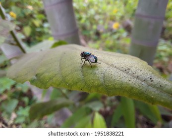 A fly over a green leaf in the garden,Domestic fly on top of green leavesIt is the most common fly species found in houses Housefly