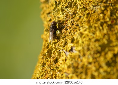 Fly perched on lichen