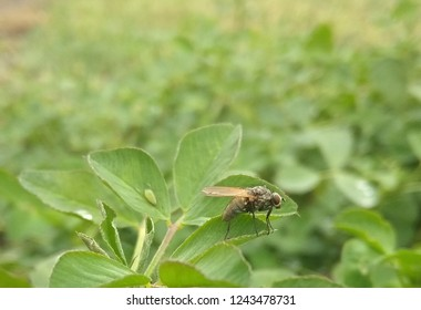 fly and plant louse on clover