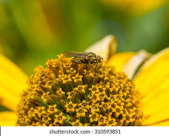 Fly sat down to rest on a yellow daisy