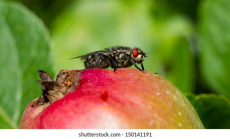 Fly sitting on top of a red apple