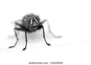 A Fly Staring at the Camera (Black and White)