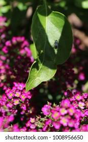 Fly Sunbathing on a Leaf