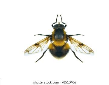 Fly Volucella bombylans var. plumata on a white background