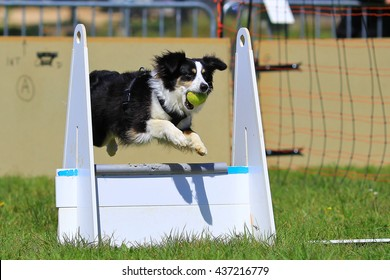 flyball border collie