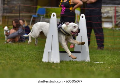 Flyball competition dog agility