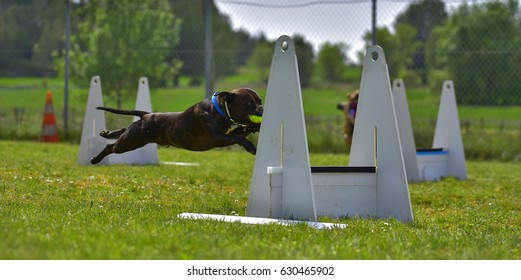 Flyball competition dog agility work education