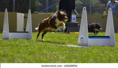 flyball dog competition agility