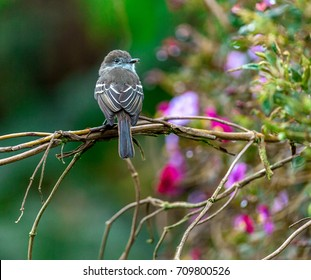 Flycatcher on the brunch with background of pink flowers, Ecuador