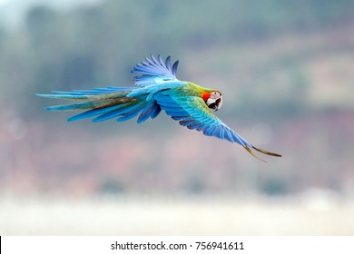 flying action of The Scarlet Macaw (Ara macao)