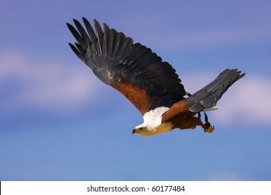 Flying African fish eagle (Haliaeetus vocifer)