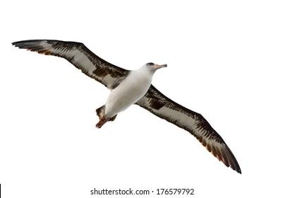 flying albatross isolated on white kauai hawaii