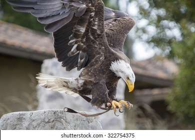 Flying American Bald Eagle landing on the glove of his trainer at an outdoor bird sanctuary near Otavalo, Ecuador 2015.