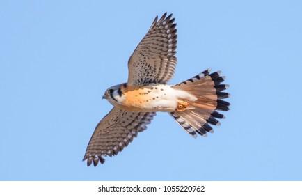 The flying American Kestrel