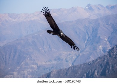 Flying Andean Condor above the Colca Canyon in Peru