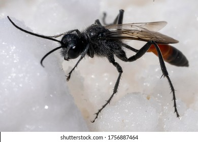 Flying ant up extremely close