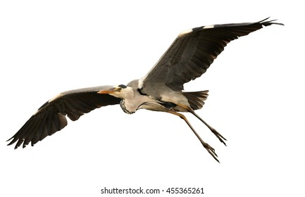 Flying Ardea cinerea,  Grey Heron with outstretched wings, isolated on white background.