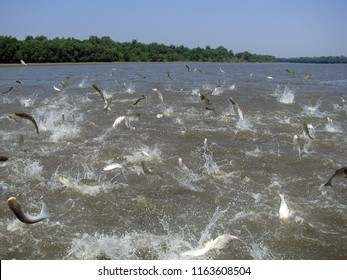 Flying Asian carp massively jump out of the water