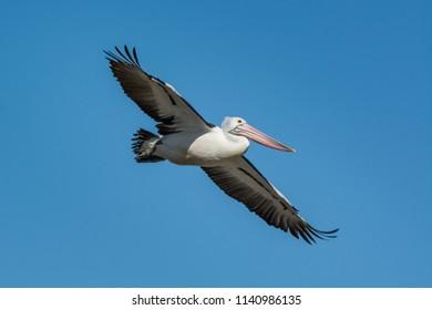 Flying Australian Pelican, Pelecanus Conspicillatus. soaring over head.