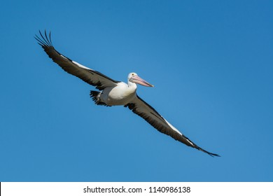 Flying Australian Pelican, Pelecanus Conspicillatus. gliding over head.
