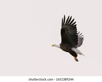Flying Bald Eagle on a white background
