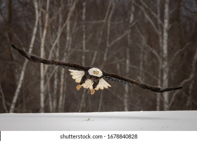 Flying bald eagle soaring through the air