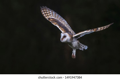 Flying Barn owl (Tyto alba), hunting. Dark green background. Noord Brabant in the Netherlands. Writing space.