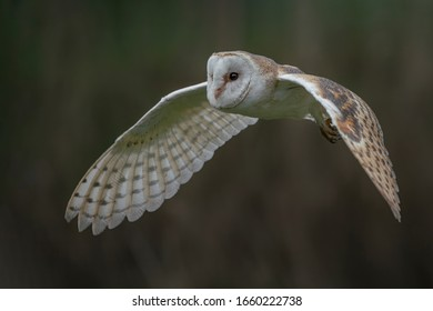 Flying Barn owl (Tyto alba), hunting. Dark green background. Noord Brabant in the Netherlands.
