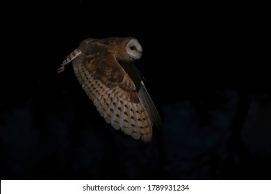 Flying Barn owl (Tyto alba), hunting. Flying low above a lake. Dark background. Noord Brabant in the Netherlands. Copy space.