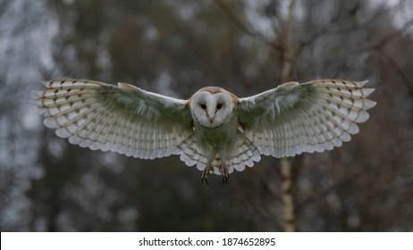 Flying Barn owl (Tyto alba), hunting. Bokeh autumn background. Noord Brabant in the Netherlands. Front shot.