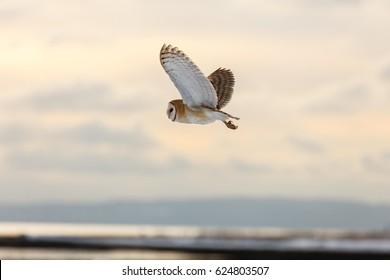flying barn owl at Vancouver BC Canada, 2017 Feb.