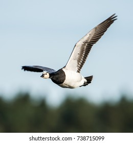 The flying Barnacle Goose (Branta leucopsis) shows its typical  white face and black head, neck, upper breast and white belly. Its captured in Hjalstaviken, Uppland, Sweden