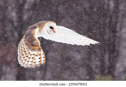 Flying Barnowl snow