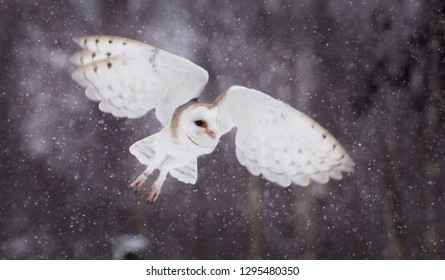 Flying barnowl in the snow