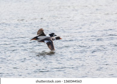 flying barrow's goldeneye duck at Vancouver BC Canada