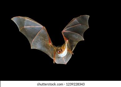 Flying bat with black background, Myotis myotis