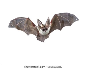 Flying bat isolated on black background. The grey long-eared bat (Plecotus austriacus) is a fairly large European bat. It has distinctive ears, long and with a distinctive fold. It hunt above woodland